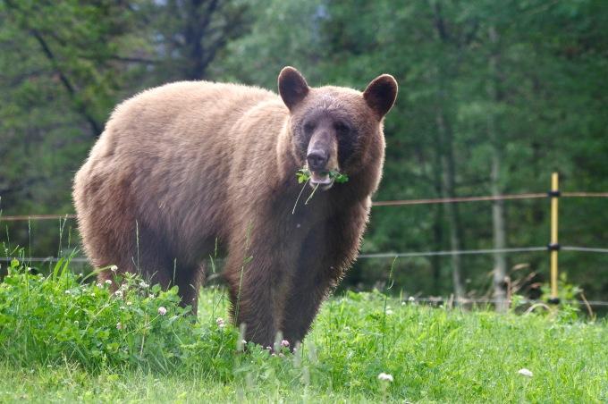 Bear_Clover